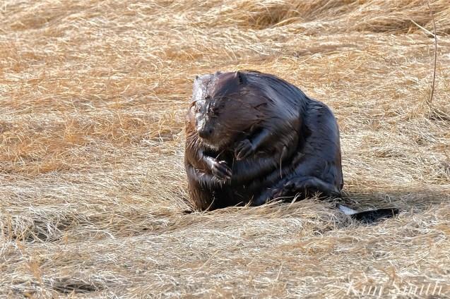 North American Beaver Salt Marsh Massachusetts copyright Kim Smith - 08