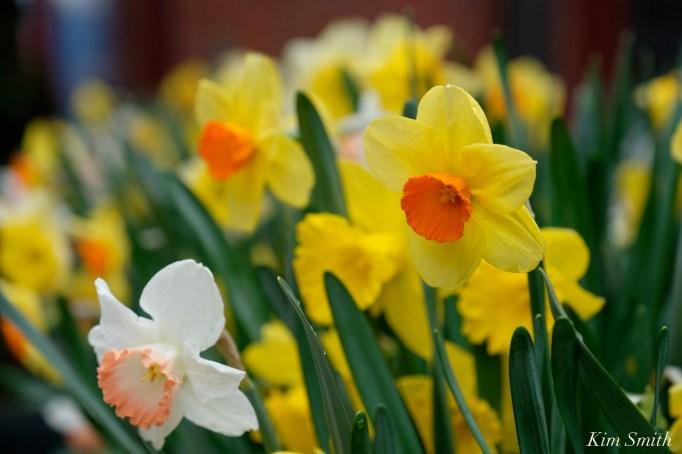 Daffodils Kendall Hotel Cambridge Massachusetts copyright Kim Smith - 06
