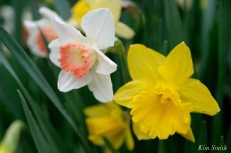 Daffodils Kendall Hotel Cambridge Massachusetts copyright Kim Smith - 14