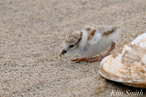 Hours-old Piping Plover Chick eating a bug copyright Kim Smith - 09
