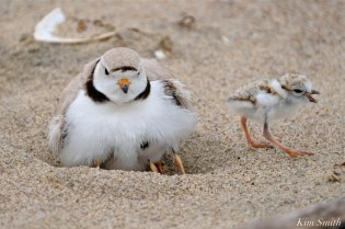 Hours-old Piping Plover Chicks copyright Kim Smith - 08