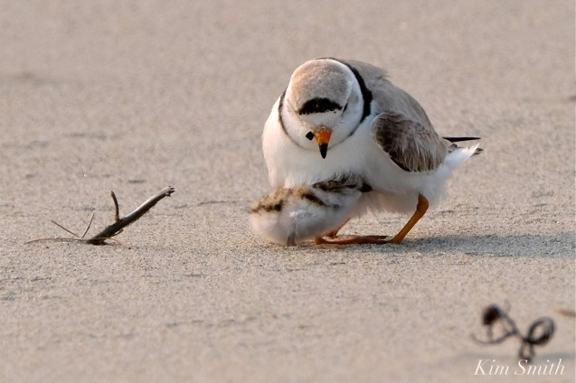 Hours-old Piping Plover Chicks Gloucester MA copyright Kim Smith - 11