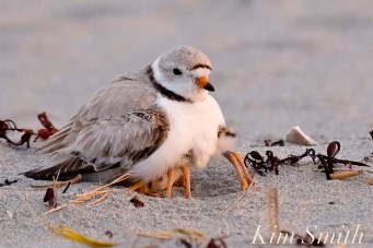 piping-plover-two-day-old-chicks-good-harbor-beach-2-copyright-kim-smith