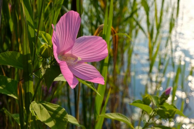 rose-mallow-marsh-mallow-c2a9kim-smith-2013
