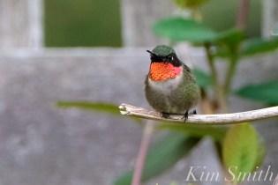 Ruby-throated Hummingbird Male Gloucester MA -11 copyright Kim Smith