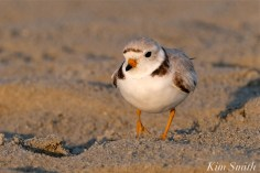 Piping Plover Adult Female Mama GHB copyright Kim Smith - 16