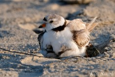 Piping Plover Chicks 22 days old male adult GHB copyright Kim Smith - 21