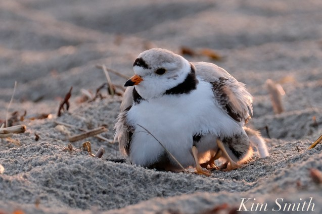 Piping Plover Chicks 3 day old Gloucester MA copyright Kim Smith - 01 copy