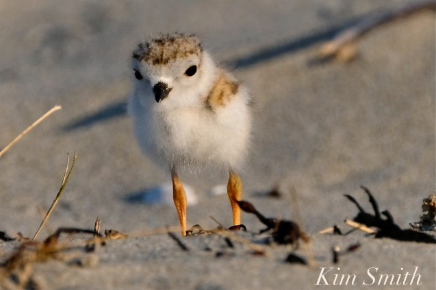 Piping Plover chicks 9 days old Gloucester MA copyright Kim Smith - 19 copy