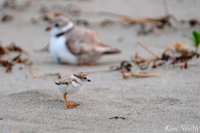 Piping Plover Chicks One Day Old 2019 Gloucester MA copyright Kim Smith - 01