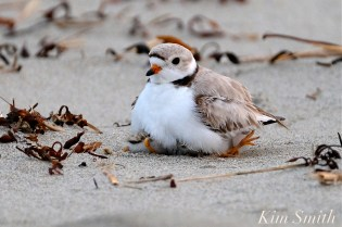 Piping Plover Chicks One Day Old 2019 Gloucester MA copyright Kim Smith - 02