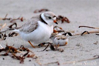 Piping Plover Chicks One Day Old 2019 Gloucester MA copyright Kim Smith - 03