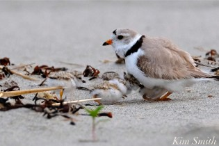 Piping Plover Chicks One Day Old 2019 Gloucester MA copyright Kim Smith - 11