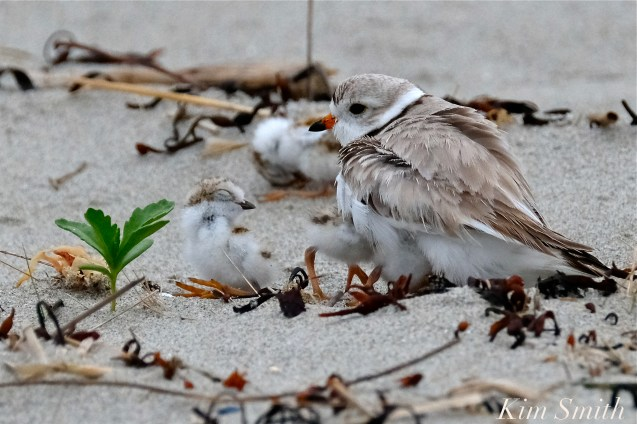 Piping Plover Chicks One Day Old 2019 Gloucester MA copyright Kim Smith - 14
