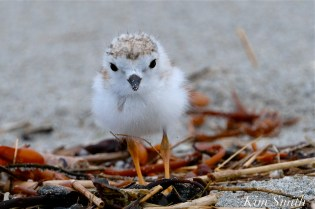 Piping Plover Chicks Two Weeks Old Gloucester MA copyright Kim Smith - 10 copy
