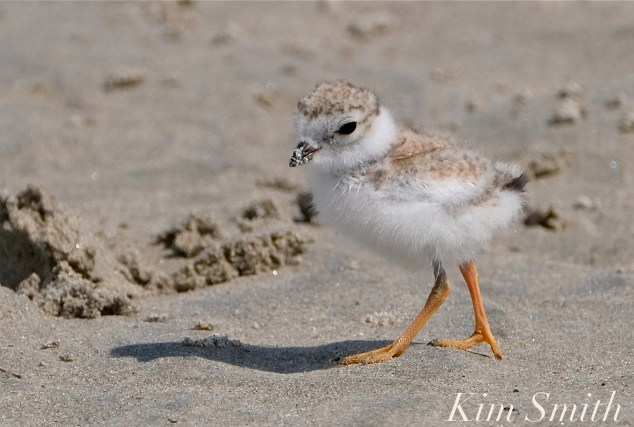 Piping Plover Chicks Two Weeks Old Gloucester MA copyright Kim Smith - 19 copy