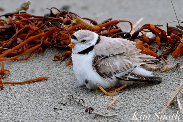 Piping Plover Male Gloucester MA copyright Kim Smith - 12
