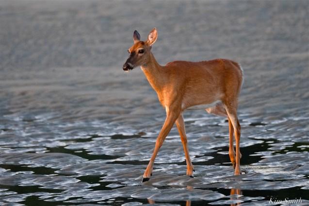 Deer Doe Good Harbor Beach copyright Kim Smith - 08