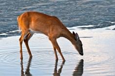 Deer Doe Good Harbor Beach copyright Kim Smith - 16