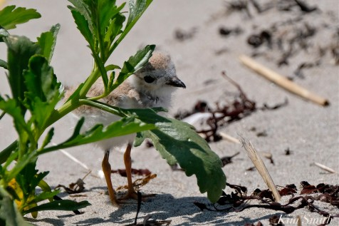 Piping Plover Chick 23 days old copyright Kim Smith - 01 copy