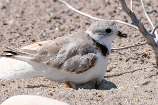 Piping Plovers Nesting Heat Wave copyright Kim Smith - 5