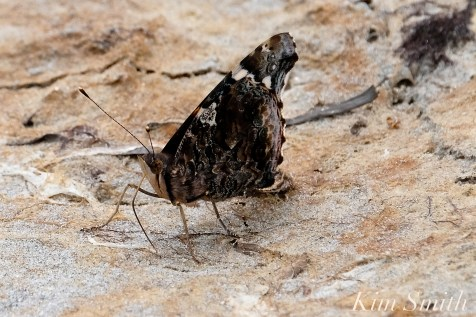 Red Admiral Butterfly drinking salt at the beach copyright Kim Smith