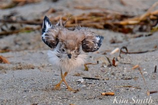 Semipalmated Plover Chick Fledgling Good Harbor Beach Massachusetts copyright Kim Smith - 02 copy