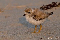 Semipalmated Plover Chick Fledgling Good Harbor Beach Massachusetts copyright Kim Smith - 11