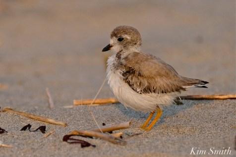Semipalmated Plover Chick Fledgling Good Harbor Beach Massachusetts copyright Kim Smith - 13