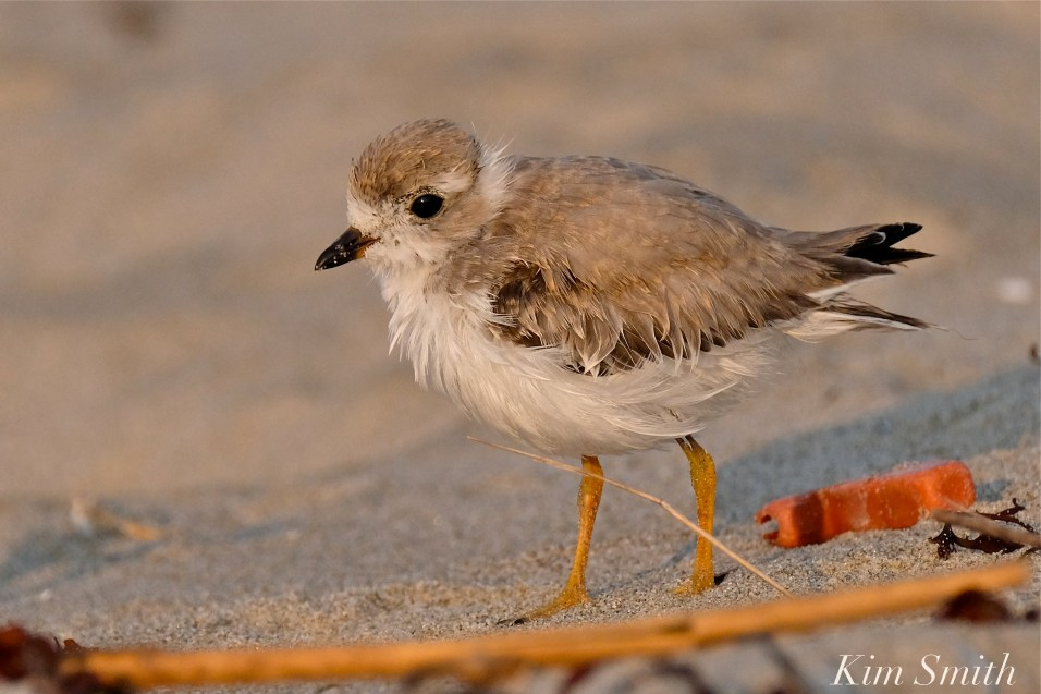 Semipalmated Plover Chick Fledgling Good Harbor Beach Massachusetts copyright Kim Smith - 17
