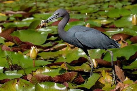Little Blue Heron Eating Froglet Gloucester Massachusetts copyright Kim Smith - 08