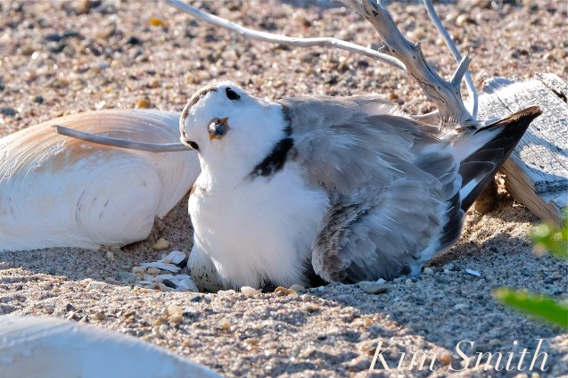 Piping Plover Chick Hatching copyright Kim Smith - 07