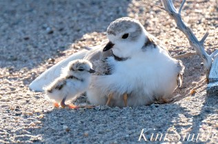 Piping Plover Chick Hatching copyright Kim Smith - 20