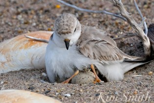 Piping Plover Chicks Hatching copyright Kim Smith - 07