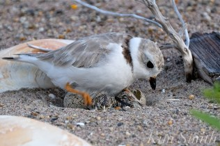 Piping Plover Chicks Hatching copyright Kim Smith - 12