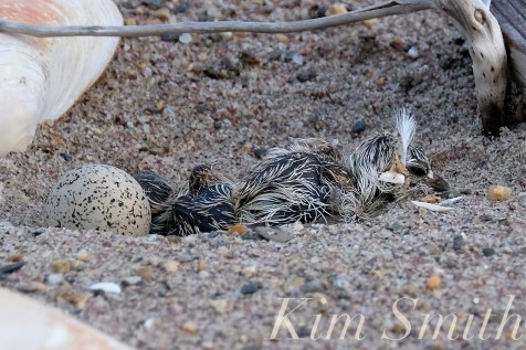 Piping Plover Chicks Hatching copyright Kim Smith - 15