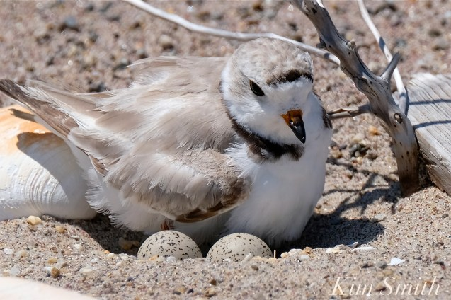 Piping Plovers Nesting Heat Wave copyright Kim Smith - 4