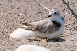 Piping Plovers Nesting Heat Wave copyright Kim Smith - 6