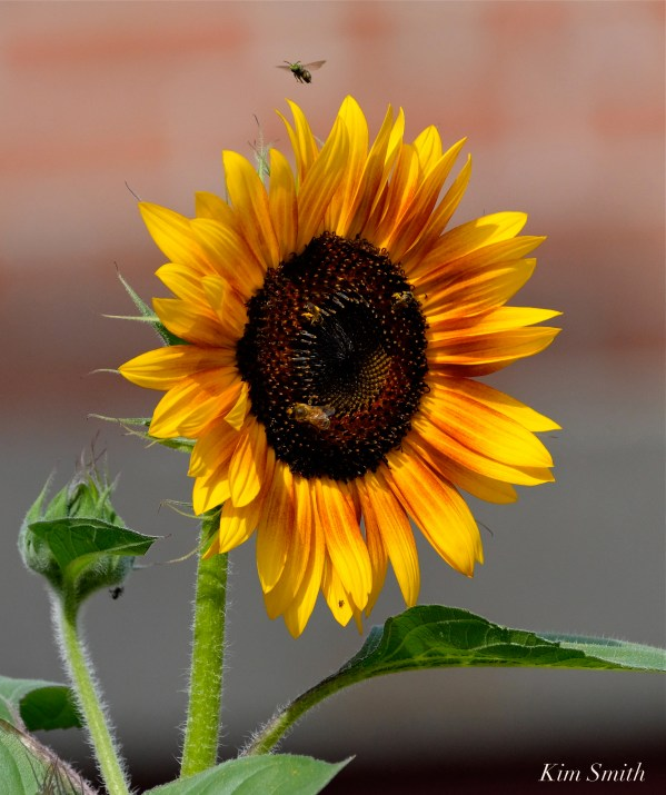 Urban Pollinator Garden Mary Prentiss Inn Cambridge -39