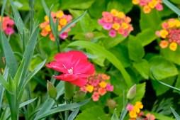 Urban Pollinator Garden Mary Prentiss Inn Cambridge copyright Kim Smith - 12