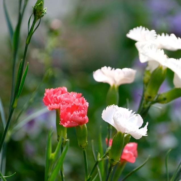 Urban Pollinator Garden Mary Prentiss Inn Cambridge copyright Kim Smith - 21