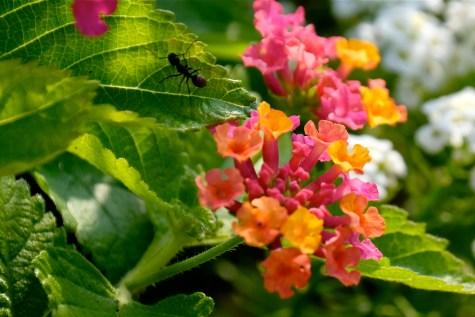 Urban Pollinator Garden Mary Prentiss Inn Cambridge copyright Kim Smith - 26