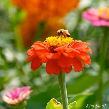 Urban Pollinator Garden Mary Prentiss Inn Cambridge copyright Kim Smith - 28
