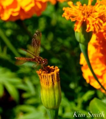 Urban Pollinator Garden Mary Prentiss Inn Cambridge copyright Kim Smith - 30