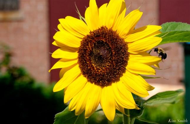 Urban Pollinator Garden Mary Prentiss Inn Cambridge copyright Kim Smith - 33