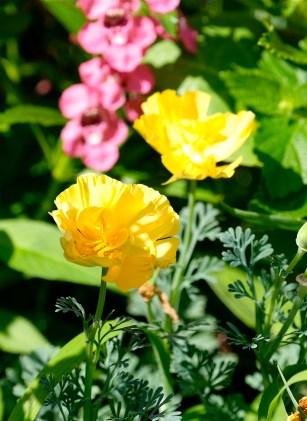 Urban Pollinator Garden Mary Prentiss Inn Cambridge copyright Kim Smith - 34