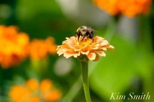 Urban Pollinator Garden Mary Prentiss Inn Cambridge copyright Kim Smith - 42