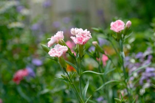 Urban Pollinator Garden Mary Prentiss Inn Cambridge copyright Kim Smith - 57
