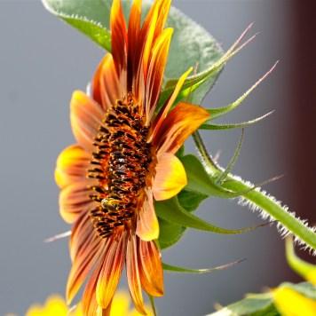 Urban Pollinator Garden Mary Prentiss Inn Cambridge copyright Kim Smith - 62