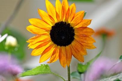 Urban Pollinator Garden Mary Prentiss Inn Cambridge copyright Kim Smith - 64
